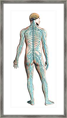 Diagram Of Human Nervous System Framed Print by Leonello Calvetti