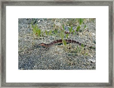 Diamond Pipefish Framed Print by Andrew J. Martinez
