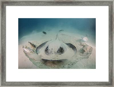 Diamond Stingray Digging In Sand Framed Print