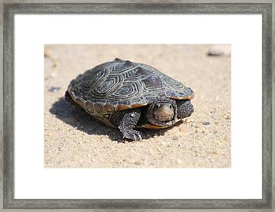 Diamondback Terrapin Turtle Framed Print by Diane Rada