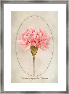 Dianthus Caryophyllus Carnation Framed Print