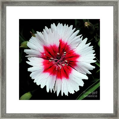 Dianthus Red And White Flower Decor Macro Square Format Watercolor Digital Art Framed Print