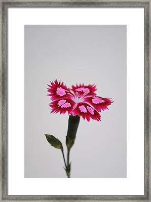 Dianthus Still Life Framed Print by Robert  Moss