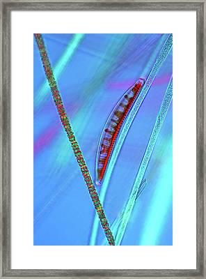 Diatom On Cyanobacteria Framed Print by Marek Mis