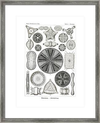 Diatomea Framed Print by Splendid Art Prints