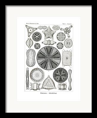 Biddulphia Pulchella Framed Prints