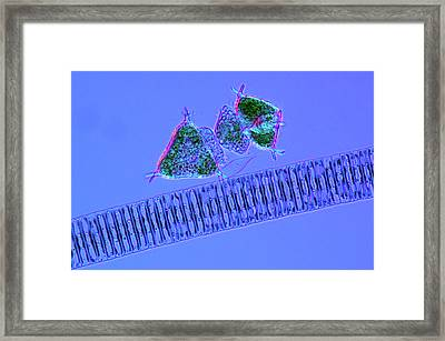Diatoms And Desmids Framed Print
