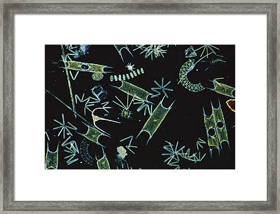 Diatoms And Dinoflagellates Framed Print by D P Wilson