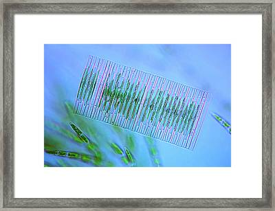 Diatoms And Green Algae Framed Print