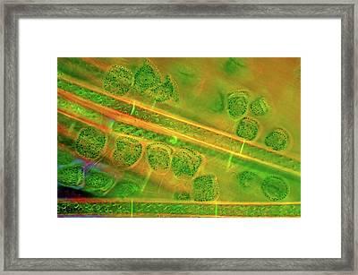 Diatoms And Spirogyra Algae Framed Print