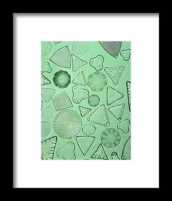 Bacillariophyceae Framed Prints