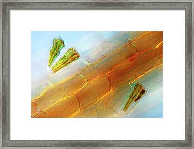 Diatoms On Duckweed Framed Print