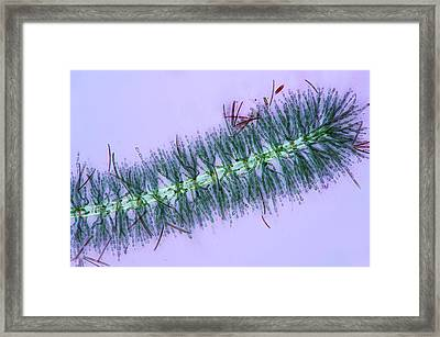Diatoms On Red Algae Framed Print