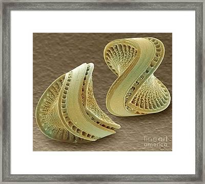Diatoms, Sem Framed Print by Andrew Syred
