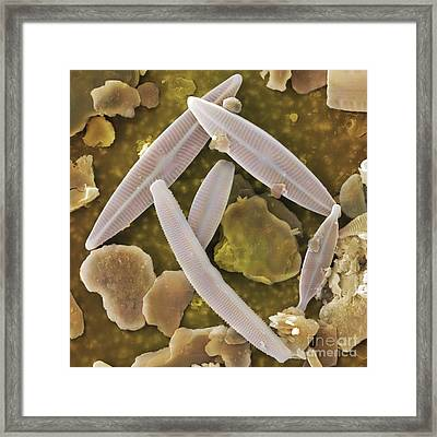 Diatoms, Sem Framed Print by Cheryl Power