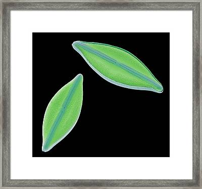 Diatoms Framed Print by Steve Gschmeissner
