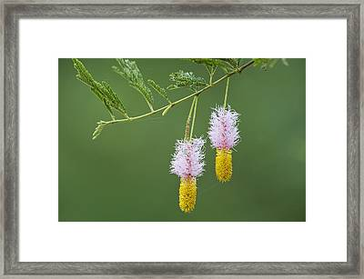 Dichrostachys Cinerea Flowers Framed Print by Science Photo Library