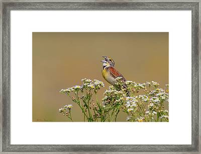 Dickcissel On Wild Daisies Framed Print by Daniel Behm