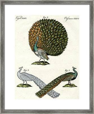 Different Kinds Of Peacocks Framed Print