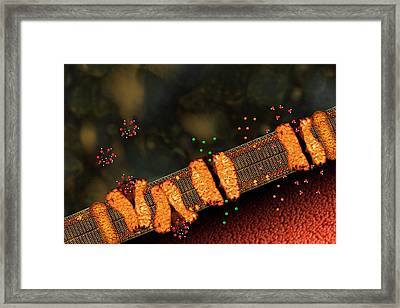 Diffusion Through A Cell Membrane Framed Print by Carol & Mike Werner