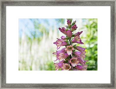 Digitalis Illumination Pink Framed Print by Tim Gainey