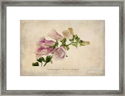 Digitalis Purpurea Aka Common Foxglove Framed Print