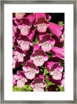 Digitalis Purpurea Excelsior Group Framed Print by Adrian Thomas