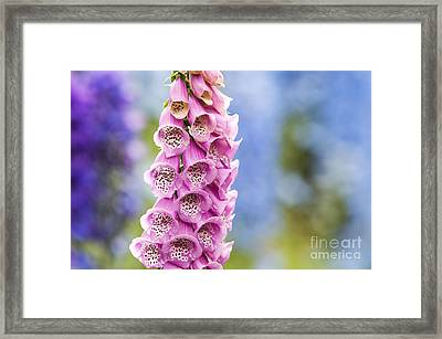 Digitalis Purpurea Foxglove Framed Print by Tim Gainey
