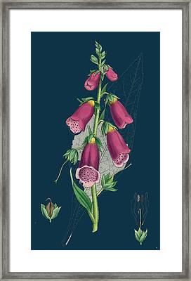 Digitalis Purpurea Purple Foxglove Framed Print