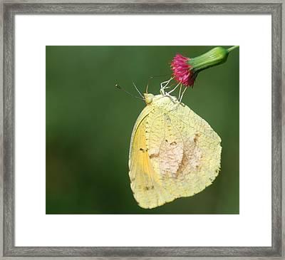 Dina Yellow Framed Print