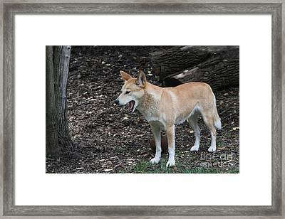 Dingo #2 Framed Print