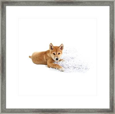 Dingo Puppy Framed Print by Science Photo Library