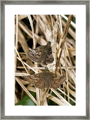 Dingy Skipper Butterflies Framed Print by Bob Gibbons