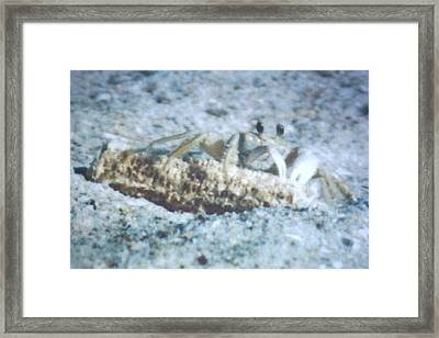 Framed Print featuring the photograph Beach Crab Snacking by Belinda Lee