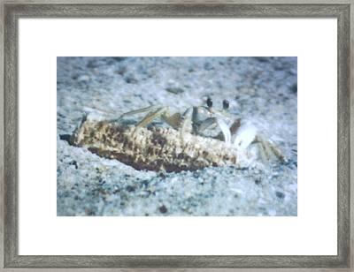 Beach Crab Snacking Framed Print by Belinda Lee