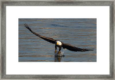 Dinner On The Wing  Framed Print by Glenn Lawrence