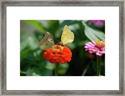 Framed Print featuring the photograph Dinner Table For Two Butterflies by Thomas Woolworth