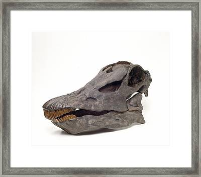 Diplodocus Carnegiei Skull Framed Print