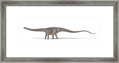 Diplodocus Dinosaur On White Background Framed Print by Leonello Calvetti