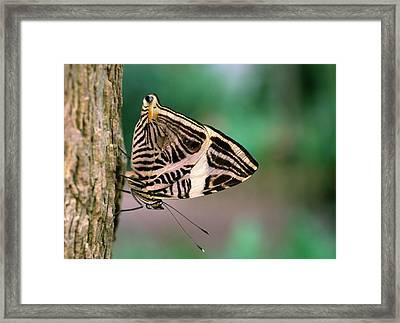 Dirce Beauty Butterfly Framed Print