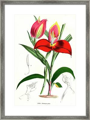 Disa Grandiflora Framed Print by Collection Abecasis