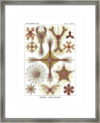 Discoidea Framed Print by Ernst Haeckel