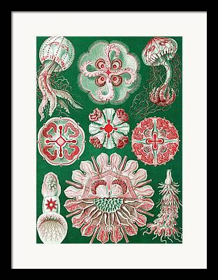 Kunstformen Der Natur Framed Prints