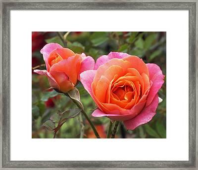 Disneyland Roses Framed Print by Rona Black