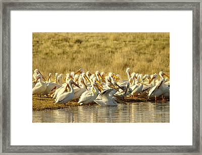 Disrupting The Pelican Socail Gathering Framed Print
