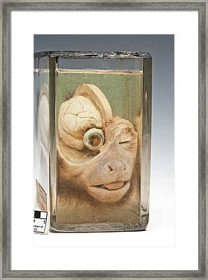 Dissected Monkey Head Framed Print by Ucl, Grant Museum Of Zoology