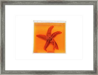 Dissected Starfish Framed Print by Gregory Davies