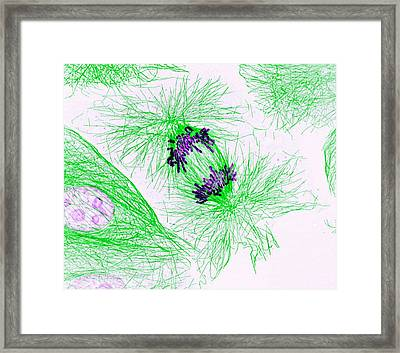 Dividing Cell Framed Print by National Institutes Of Health
