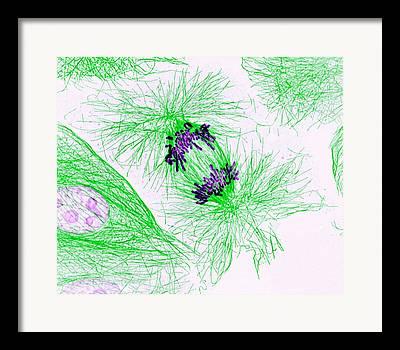 Mitosis Framed Prints