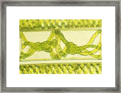 Dividing Cells Of Spirogyra Framed Print by James M. Bell